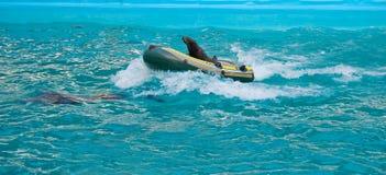 Eine Delphin-Rettungpelzdichtung in einem Luftboot Stockfotografie