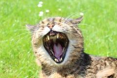 Eine den Mund aufsperrende Katze Lizenzfreies Stockbild