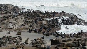 Eine der größten Kolonien der Pelzdichtungen in der Welt stock footage