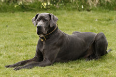 Eine Deutsche Dogge Stockfoto