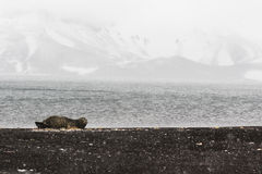 Eine Dichtung auf einem Strand Lizenzfreie Stockbilder