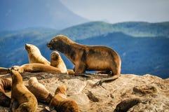 Eine Dichtung, die auf einem Felsen, Spürhund-Kanal, Argentinien steht Stockbilder