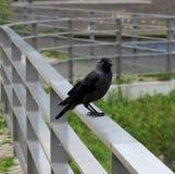 Eine dohle (corvus monedula) Royalty Free Stock Photo