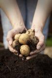 Eine doppelte Handvoll gerade ausgewählte Kartoffeln Lizenzfreie Stockbilder