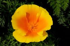 Eine Draufsicht einer Kalifornien-Mohnblume in der Blüte lizenzfreie stockfotos