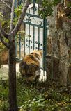 Eine dreifarbige Katze gesehen von den hinteren Starren durch eine Eisenform-Gartentür lizenzfreie stockbilder
