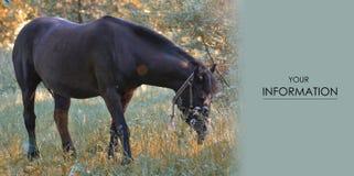 Eine dunkelbraune Pferdegras-Natursonne lizenzfreie stockfotografie