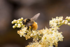 Eine Durchmoglungs-Bienenfütterung auf einer weißen Blume Stockbilder