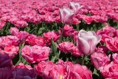 Eine dwaling englische Übersetzung der Tulpe: verlassen über Tulpe vom letzten Jahr stockfotografie