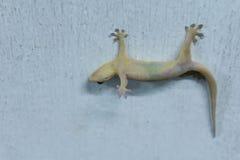 Eine Eidechse tot auf der Hausmauer Stockfotos