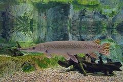 Eine einsame aber elegante Alligatorkaimanfischschwimmen im klaren Wasser lizenzfreie stockbilder
