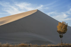 Eine einsame Pappel neben der Sanddüne lizenzfreie stockbilder