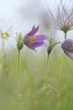 Eine einsame pasque Blume stockfoto