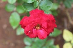 Eine einsame Rose Lizenzfreie Stockfotos