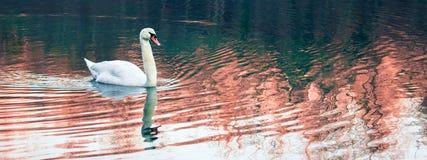 Eine einsame Schwan-Schwimmen im Fluss Lizenzfreie Stockfotografie