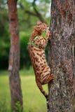 Eine einzelne Bengal-Katze in den natürlichen Umgebungen Lizenzfreie Stockfotos