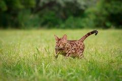 Eine einzelne Bengal-Katze in den natürlichen Umgebungen Stockbild