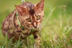 Eine einzelne Bengal-Katze in den natürlichen Umgebungen Stockfotos