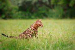 Eine einzelne Bengal-Katze in den natürlichen Umgebungen Stockfoto