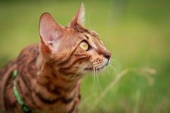 Eine einzelne Bengal-Katze in den natürlichen Umgebungen Lizenzfreies Stockbild