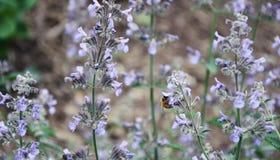 Eine einzelne Biene, die purpurrote Blumen bestäubt stockbild