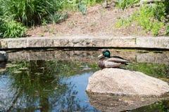 Eine einzelne Ente lizenzfreies stockbild
