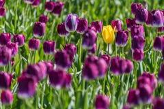 Eine einzelne gelbe Tulpe, die voll auf einem Gebiet von purpurroten Tulpen wächst Stockfotos
