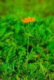 Eine einzelne orange Kosmosblume Stockfotografie