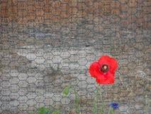 Eine einzelne rote Mohnblume steigt gegen einen Metallzaun stockbild