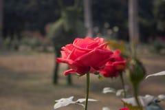 Eine einzelne rote Rose auf Niederlassung stockbild