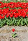 Eine einzelne rote Tulpe auf einem bebauten Blumengebiet Lizenzfreie Stockfotos