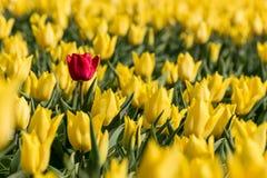 Eine einzelne rote Tulpe auf einem Gebiet voll von gelben Tulpen Lizenzfreie Stockfotos