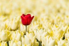 Eine einzelne rote Tulpe, die voll auf einem Gebiet von gelben Tulpen wächst Lizenzfreie Stockfotos