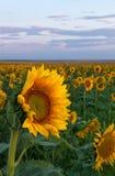 Eine einzelne Sonnenblume in einem Sonnenblumenfeld stockfotos