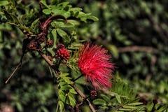 Eine einzigartige rote haarige Blume auf einem Baum stockfotos