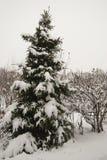Eine einzige Fichte bedeckt mit frischem weißem flaumigem Schnee Lizenzfreies Stockbild