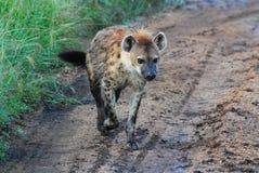 Eine einzige Hyäne stockfotografie