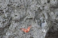 Eine einzige kleine orange Krabbe sitzt und wartet auf die Gezeiten, um hereinzukommen lizenzfreies stockfoto