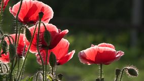 Eine empfindliche Blume Eine helle rote Mohnblume, zieht Bienen an Attraktive, helle, rote Farbe stock footage