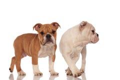 Eine englische Bulldoggenstellung und die andere, die mit Seiten versehen geht Stockbilder
