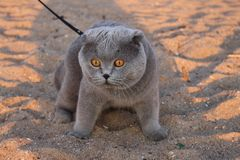Eine enorme rauchige Katze mit gelben Augen und einem Kragen lizenzfreie stockfotos