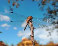 Eine enorme schöne Libelle (Fliegenadditionsmaschine) auf dünner Niederlassung Lizenzfreie Stockfotos