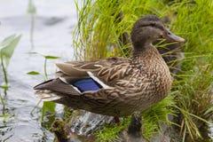 Eine Ente Lizenzfreie Stockfotos