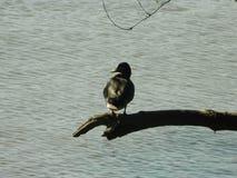 Eine Ente 2 Lizenzfreies Stockfoto