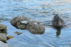 Eine Ente auf dem See Lizenzfreie Stockbilder