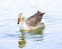 Eine Ente auf dem Teichwasser Lizenzfreies Stockfoto