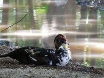Eine Ente, die auf der Flussbank sitzt Lizenzfreies Stockfoto