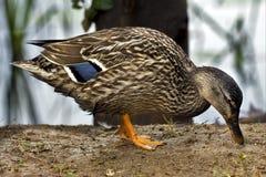 Eine Ente, die in der Erde isst Lizenzfreies Stockbild