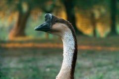 Eine Ente, die herum an einem Feld geht Lizenzfreies Stockbild