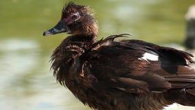 Eine Ente, die eine Ente verkratzt und ist stock video